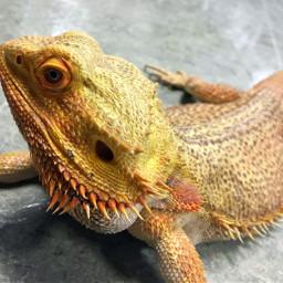 reptile lizard classpet