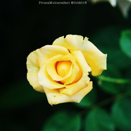 flower photography roses rosesflower
