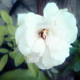 freetoedit flowers whiterose flowerphotography flowercrown