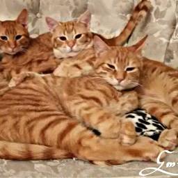 freetoedit animals petsandanimals cats mycats
